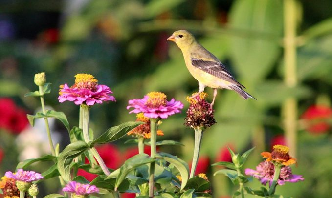 goldfinch zinnia