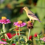 Plant a Goldfinch Garden With Their Favorite Plants
