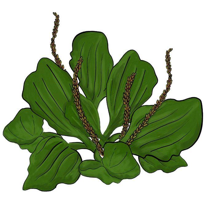 Broadleafplantain