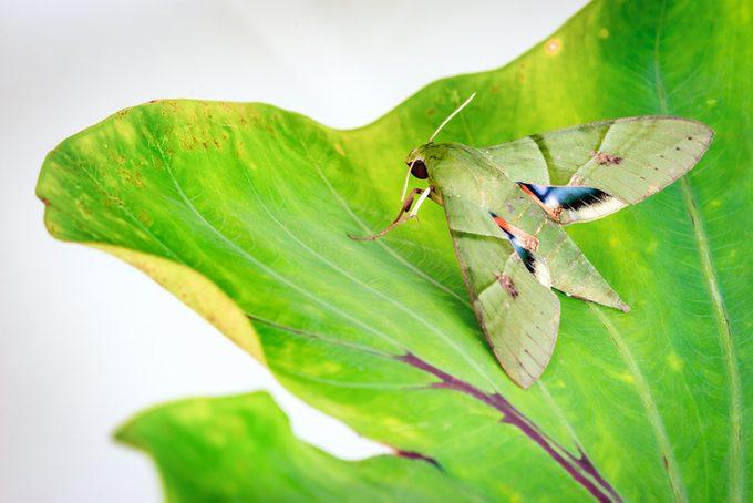Eumorpha labruscae gaudy sphinx green moth catapilar on leaf hawk-moth