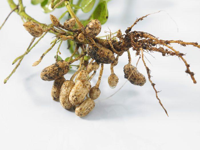 how to grow peanuts, peanut plant