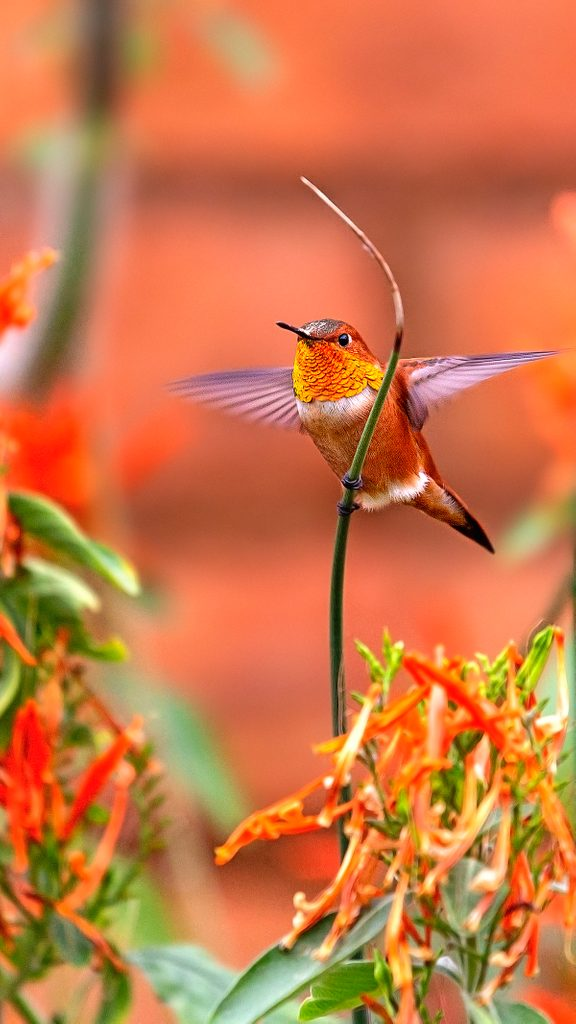 Male Allen's Hummingbird About To Start Flying