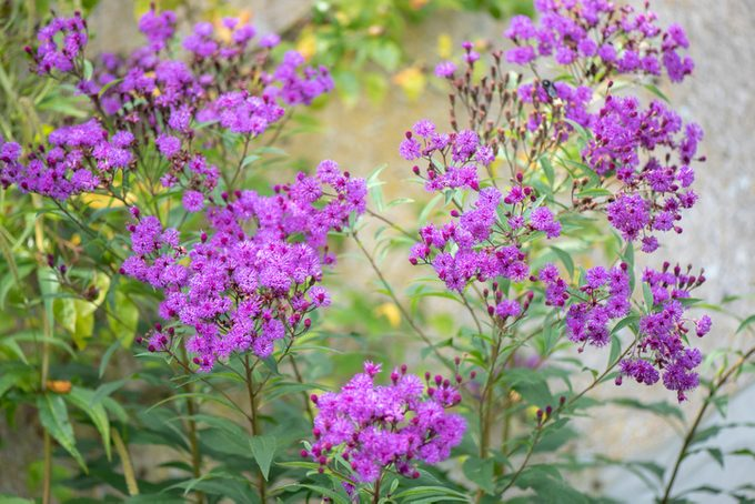 Close-up image of the late summer flowering Ironweed purple flowers also known as Vernonia fasciculata
