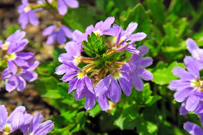 fan flower, heat tolerant plants