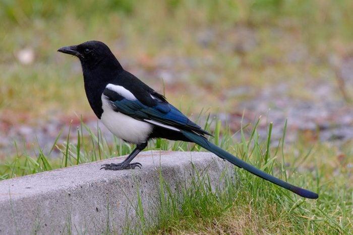 Black-billed Magpie in Alaska