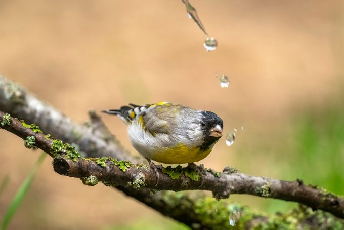 Lawrence's Goldfinch Getting a Drink