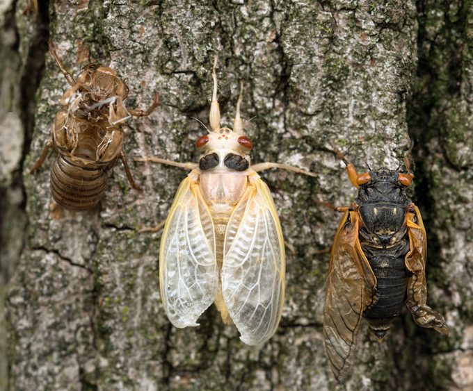 Brood X Cicada Nymph, Adult and Empty Skin