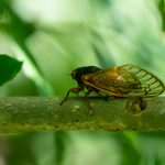 Annual and Periodical Cicadas: What You Should Know