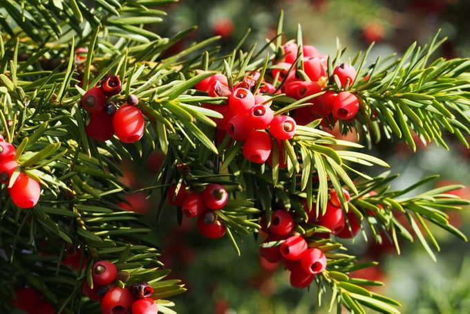 A yew bush with bright red berries