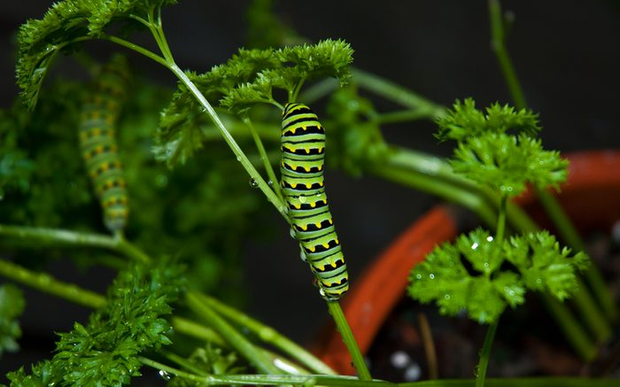 parsley caterpillar, Black Swallowtail Caterpillar