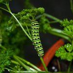 Parsley Caterpillar: Garden Friend or Foe?