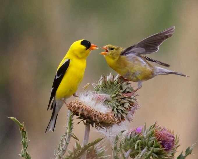 Male Goldfinch Feeds Fledgling baby goldfinch