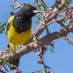 8 Yellow and Black Birds You Should Look For