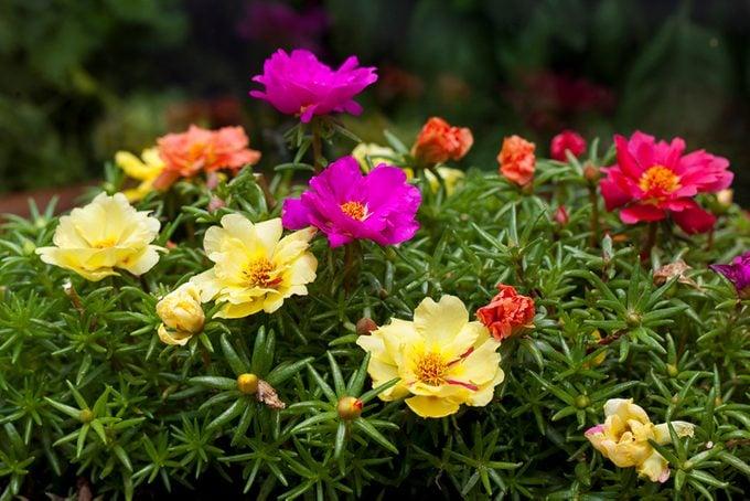 Summer Flowers, portulaca