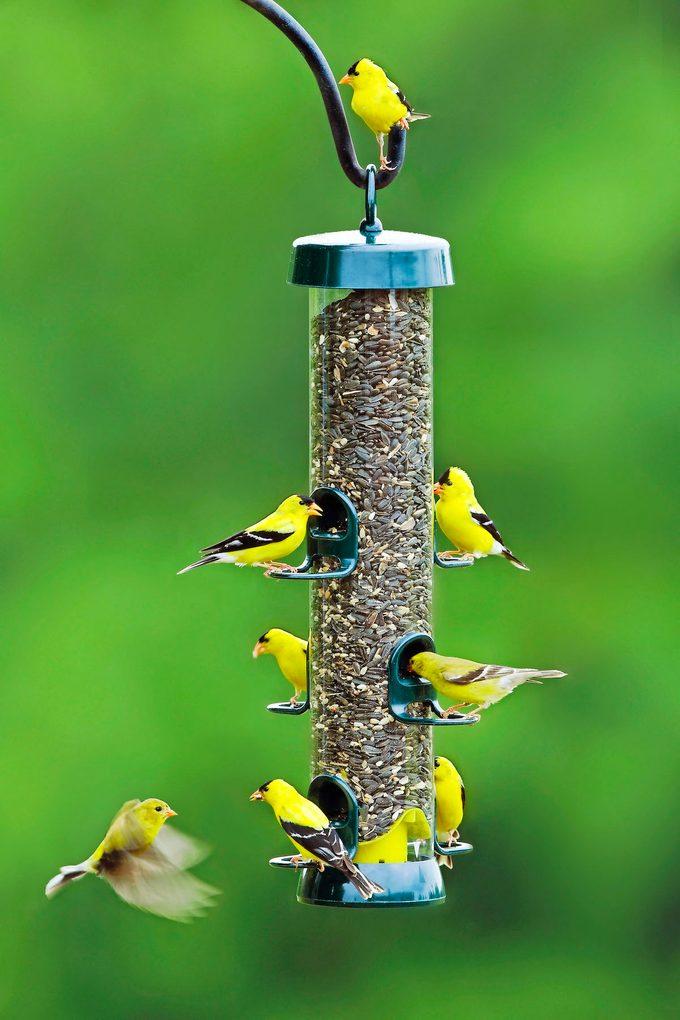 Goldfinchesam Feeder Summer Cd 3mas7289
