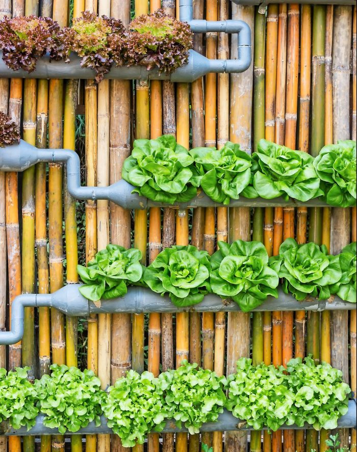A combination of gray painted PVC pipes with cut outs hold a few types of lettuce.