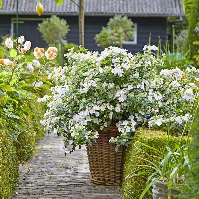 small plants, Hydrangea Runaway Bride®