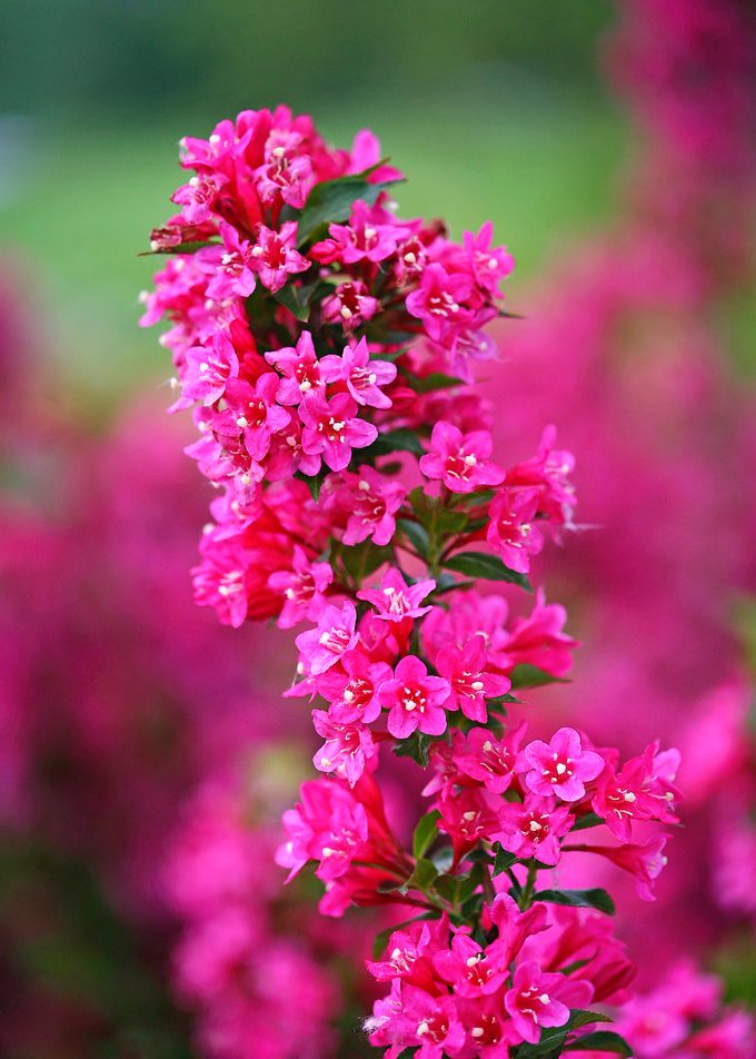 Pwsonic Bloom Pink Weigela