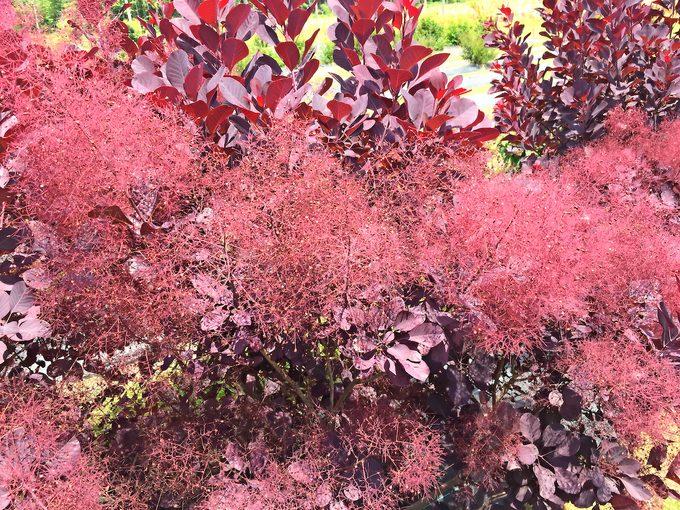 small plants, Pwwinecraft Black Cotinus 1