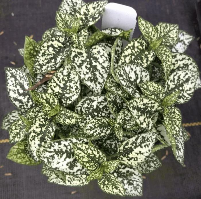 polka dot plant, office plants