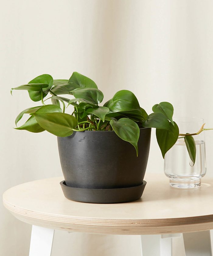 Bloomscape Philodendron Heartleaf Charcoal 0621 Scaled E1625248672512