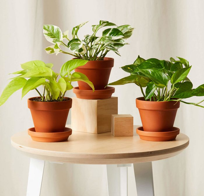 Bloomscape Pothos Collection Terra Cotta Crop0621 Scaled E1625247167764