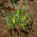 30 Common Lawn Weeds and How to ID Them (Plus Free Downloadable Chart)