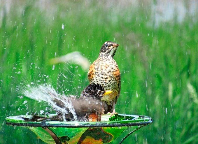 Two American robins splash in a small birdbath.