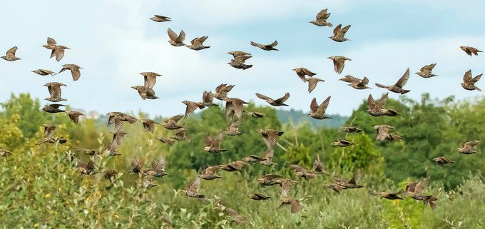 starling flock