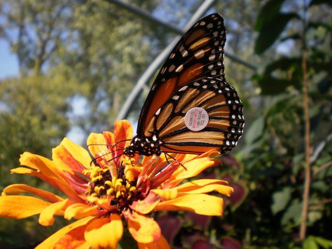 are monarch butterflies endangered?
