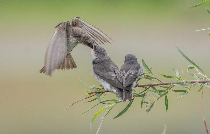 rough winged swallow bird