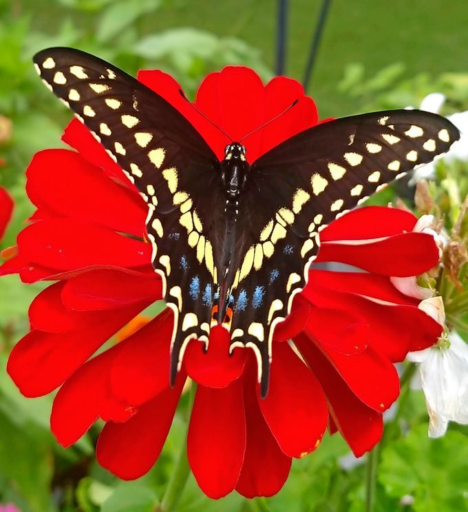 Black swallowtail, swallowtail butterfly facts