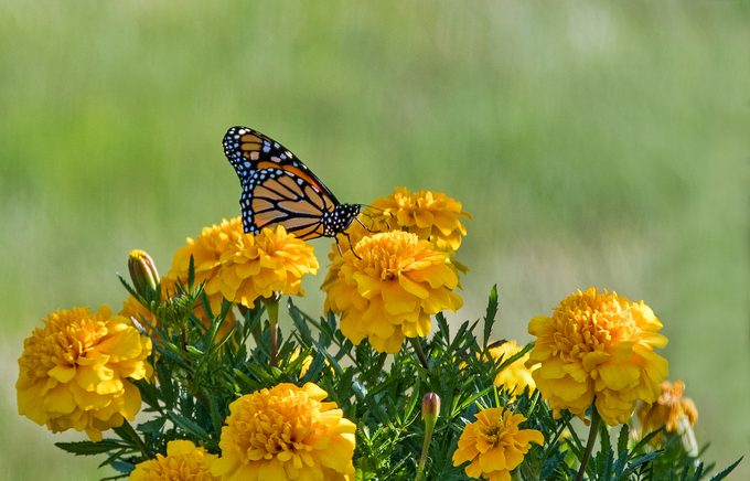 monarch on marigold flowers