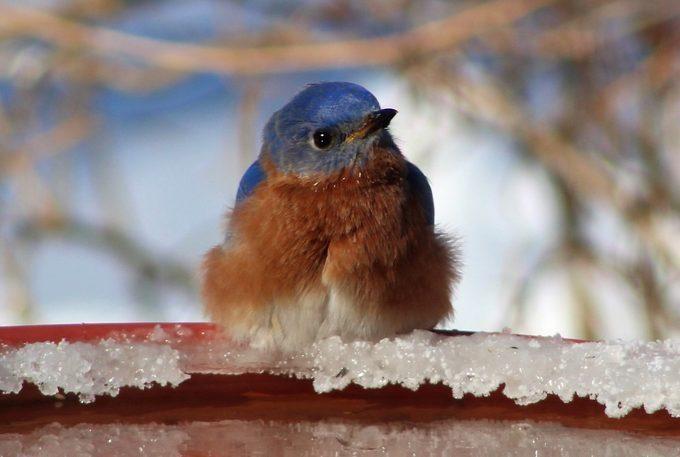 bluebird on winter bird bath