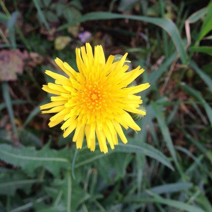 Dandelion, foraging for food