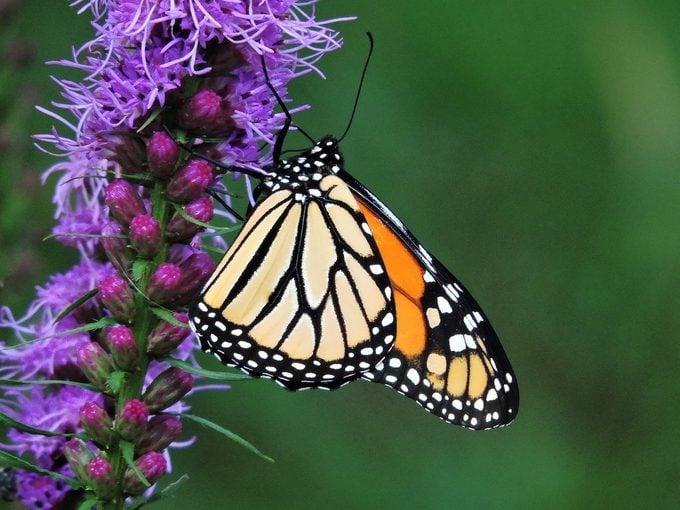 monarch butterfly on liatris