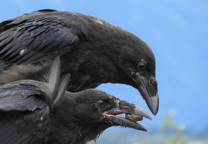 common raven birds