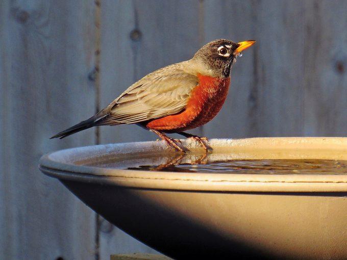 robin on heated bird bath