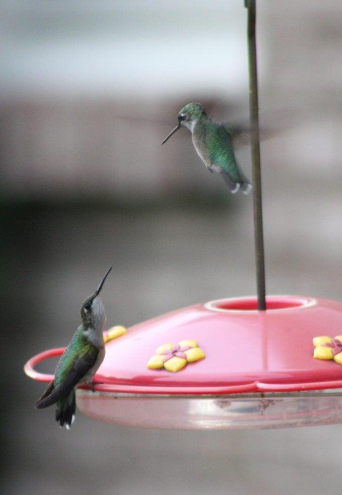 territorial hummingbirds