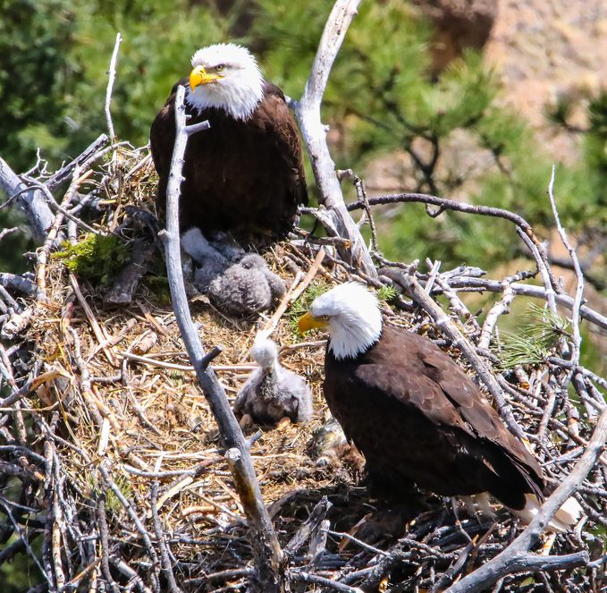 bald eagles, birds that mate for life