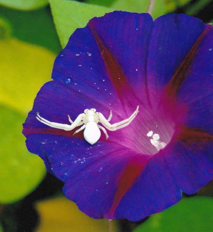 crab spider, pictures of bugs