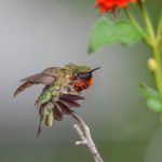 Are Male Hummingbirds Territorial at Feeders and Flowers?