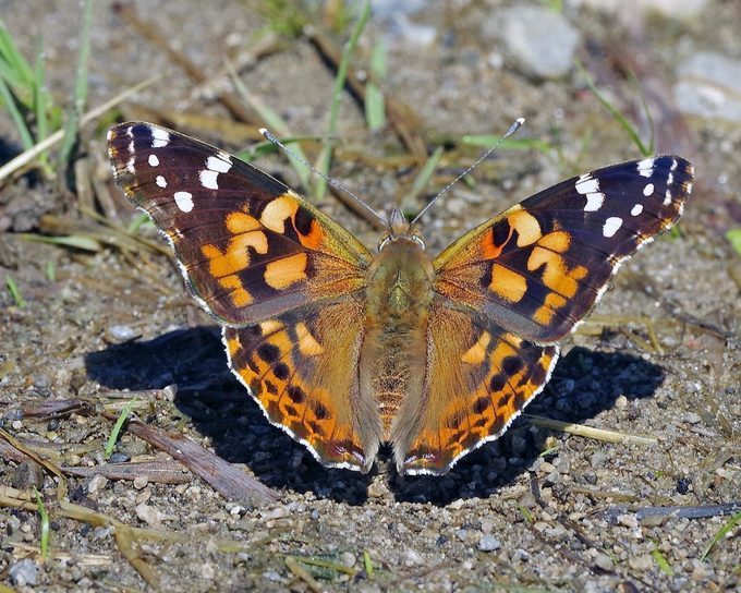 butterfly puddler