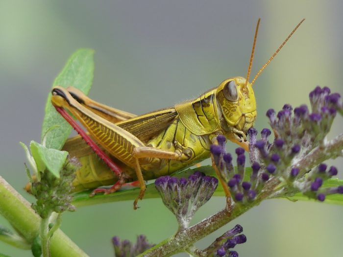 grasshopper, pictures of bugs