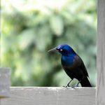 Bullies or Beauties? All About Grackle Birds