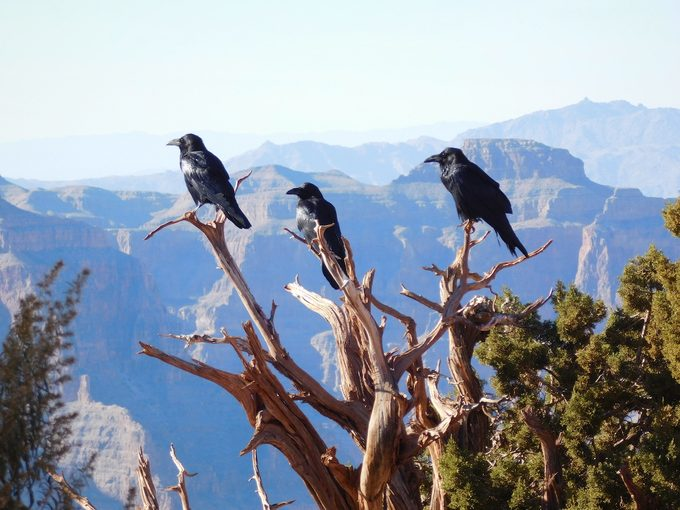 ravens at grand canyon