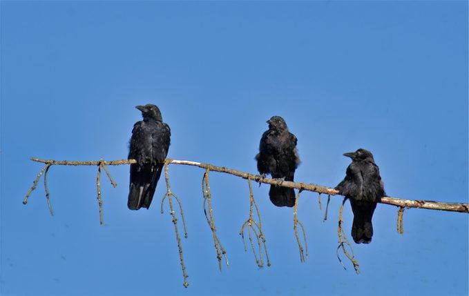 crows, smartest bird