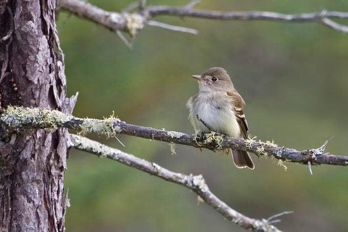 Alder Flycatcher, Empidonax alnorum, perched on branch