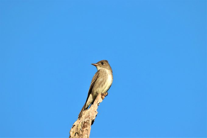 Olive-sided Flycatcher perching on a tree branch in Burnaby, British Columbia, Canada