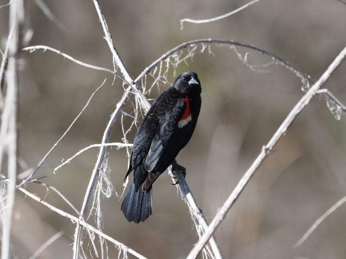 Tricolored Blackbird, types of blackbirds